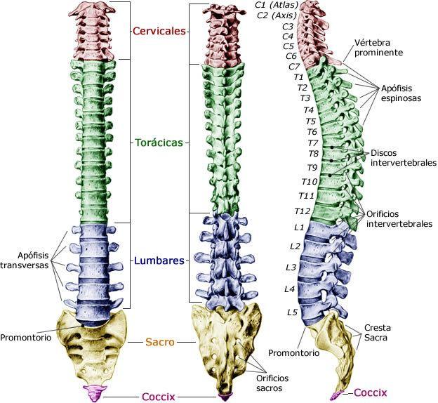 Distribución de las vértebras en la columna.