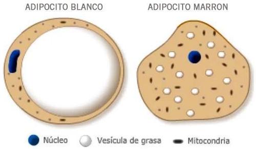 La diferencia la marca sobre todo el mayor número de mitocondrias del adipocito marrón.