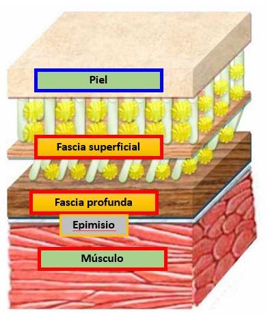 Distintos niveles hasta llegar al músculo.