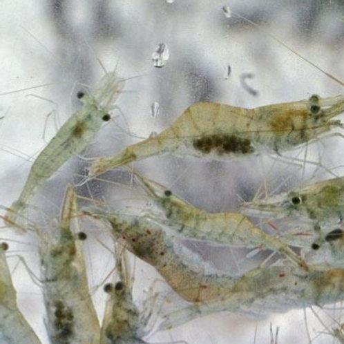 Ghost Shrimp (Each)