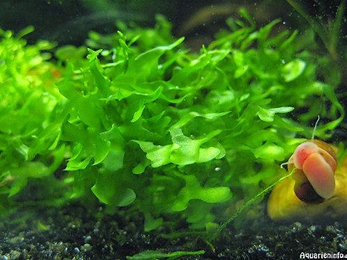 Susswassertang moss