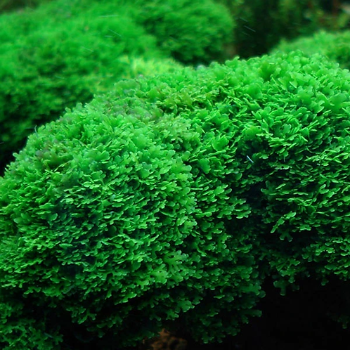 Coral Moss