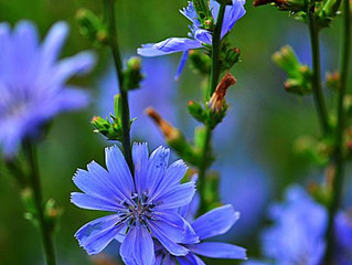Boundaries of Ecology through the lens of Chicory.