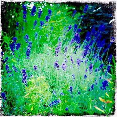 Giant Hidcote Lavender Plant.jpg