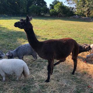 Dolly our llama