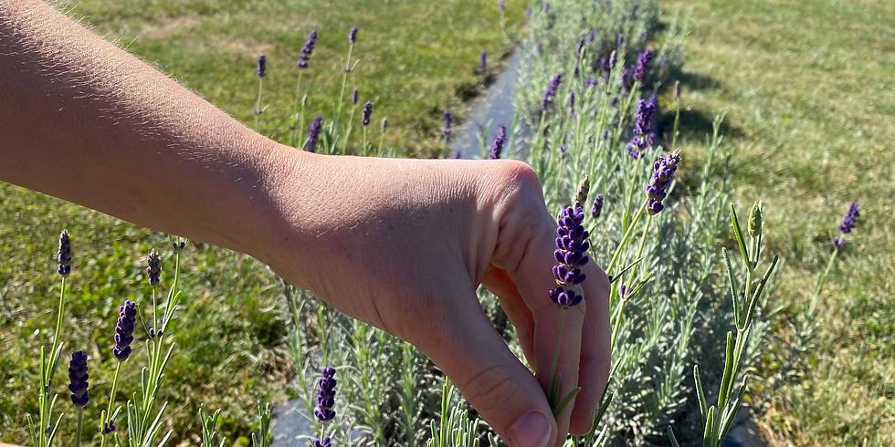 10:00 AM - 11:30 AM - Cut Your Own Lavender