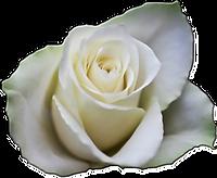 Holistsiche Praktijk De Roos, Holistische Praktijk, De Roos Logo, Cranio Sacraal, Therapie