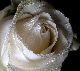 Witte Roos, Witte Roos Groningen, Praktijk Witte Roos, PraktijkDe Roos, Holistische, Praktijk Groningen, Roos