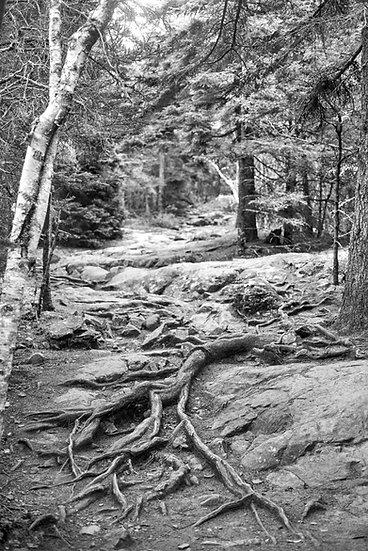Acadia Roots