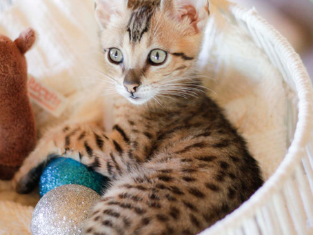 Why purchase an SBT Savannah Cat?
