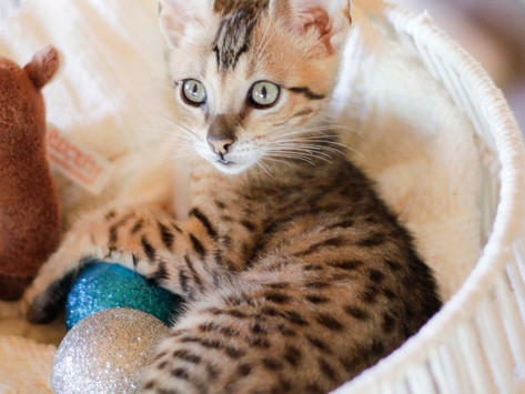 Why purchase an SBT Savannah Cat?