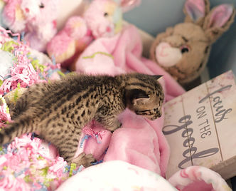 Acadia Savannah Cat for Sale.jpg