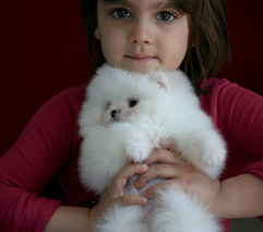 white pomeranian puppy for sale aspen 67