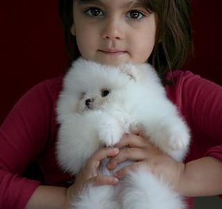 White Pomeranian Puppy