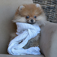pomeranian puppy with scarf.jpg