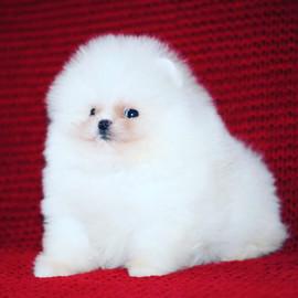 white pomeranian puppy 3.JPG