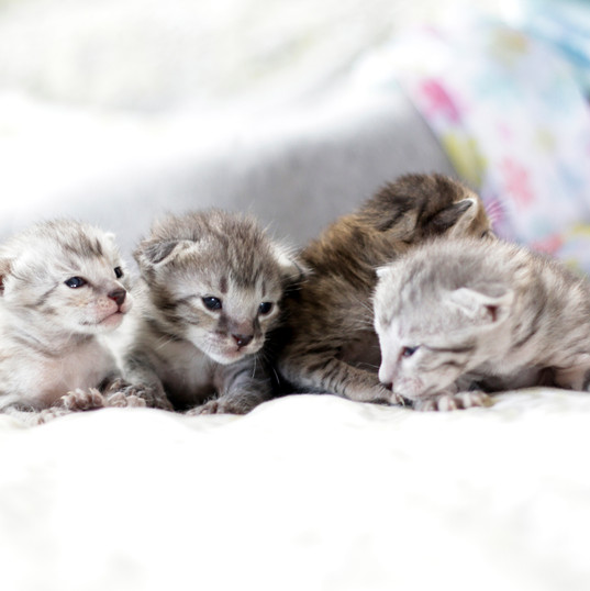 Cute Savannah Kittens 3.jpg