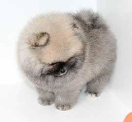 pomeranian puppy casenova (1).jpg
