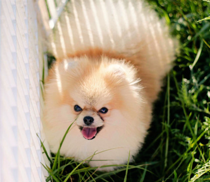 Pomeranian, AKC GCH Sired, The Joker.jpg