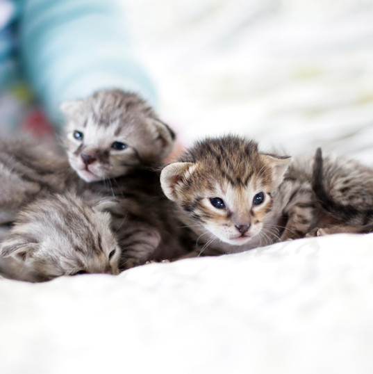 Cute Savannah Kittens 6.jpg