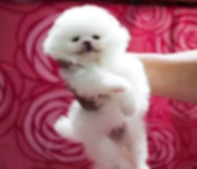 1 Pomeranian Puppy Snowball 1.png