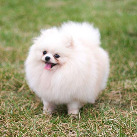 White Pomeranian Mommy