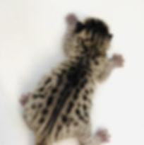 Savannah Cat Leo 6.jpg