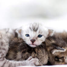 Cute Savannah Kittens 2.jpg