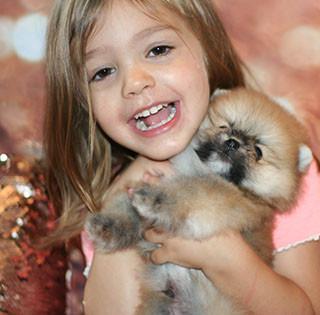 Orange Sable Pomeranian Puppy