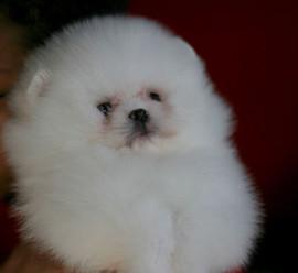 white pomeranian puppy, blizzard 53.jpg