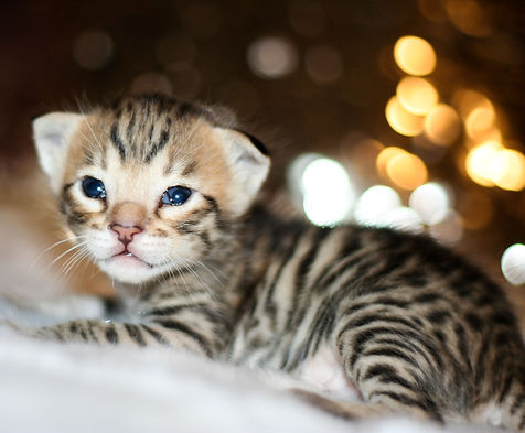 A Savannah Kitten, large cat.jpg
