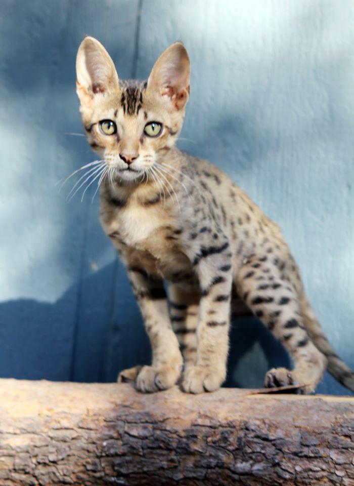 F7 Savannah kitten