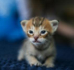 Savannah kitten, biggest cat.jpg