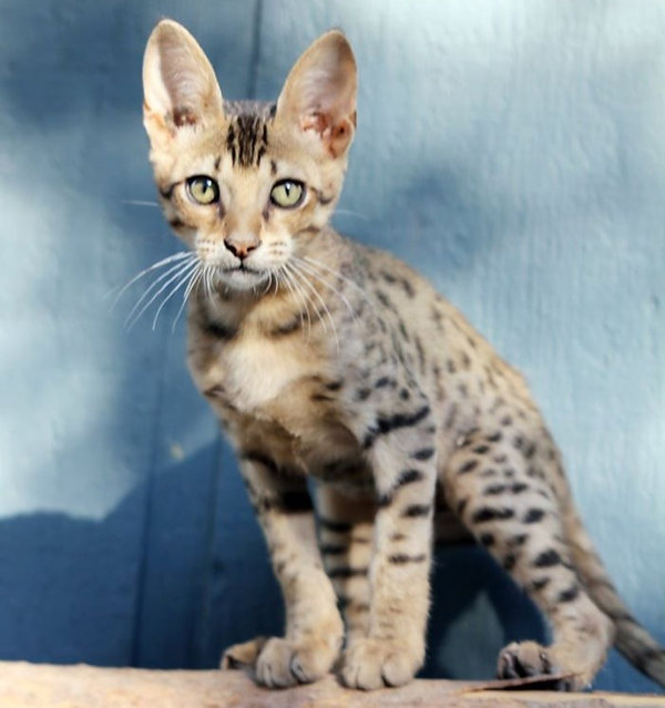 Savannah Cat Twister