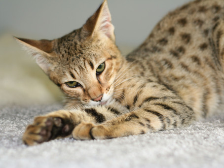 Are Savannah Cats Mean?