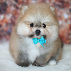 pomeranian puppy sold photo (3).jpg