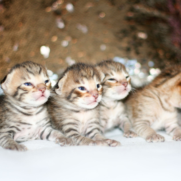 All Savannah kittens IMG_0772.jpg