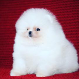 white pomeranian puppy 2.JPG
