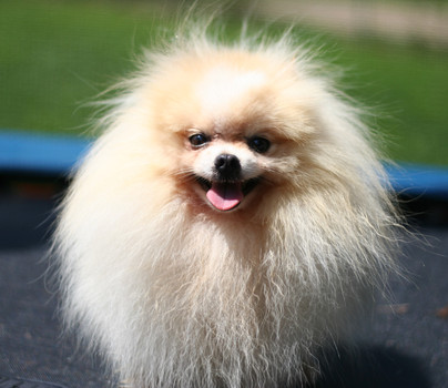AKC Champion Pomeranian Russ (1).jpg