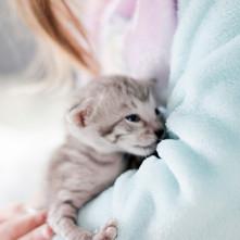 Savannah Cats for Sale, Silver Girl 5.jp