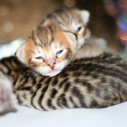 All Savannah kittens IMG_0696.jpg