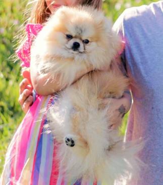 Pomeranian%20Joker_edited.jpg