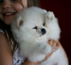 puppies white pomeranian puppy, north 13