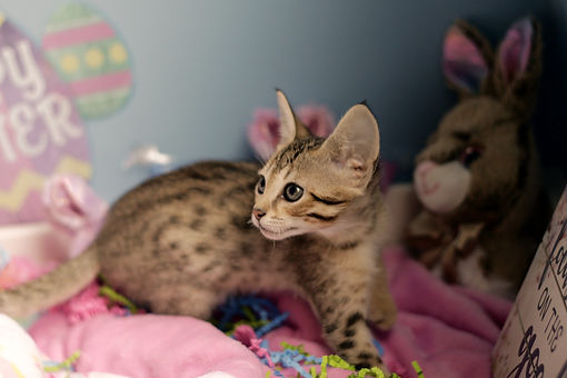 Savannah Cat 3rd pick BST.jpg