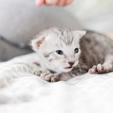Savannah Cats for Sale, Silver Girl 3.jp