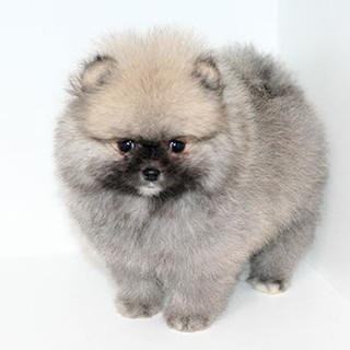 Cream Sable Pomeranian Puppy