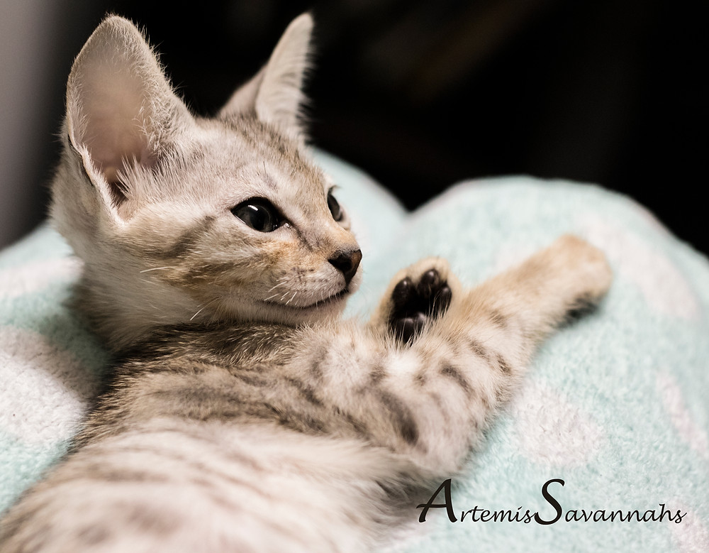 Silver Savannah kitten