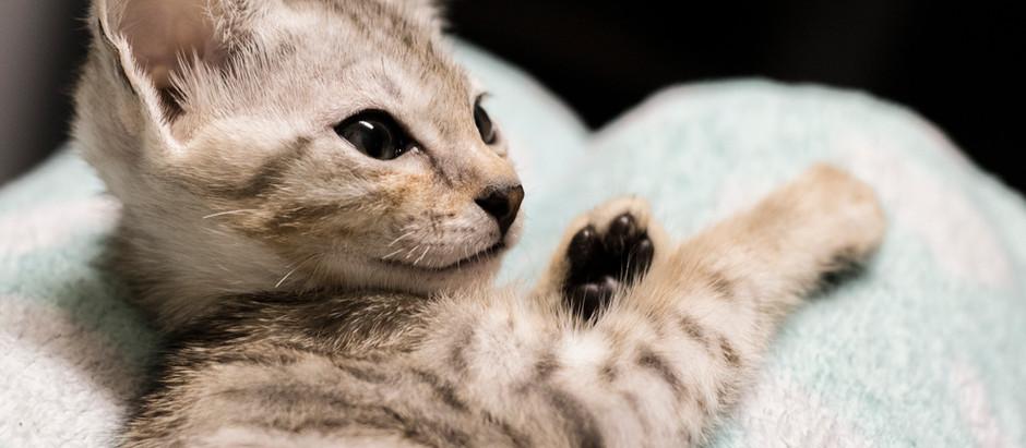 Silver Savannah Cats