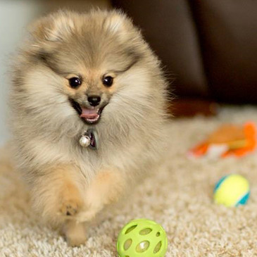 Elizabeth and Greg's Pomeranian Review