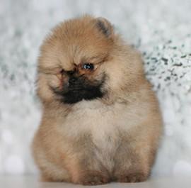 pomeranian puppy jax (2).jpg